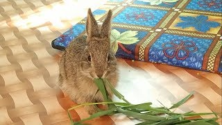 जंगली खरगोश || The Wild Rabbit At Home, Shimla, Himachal, India