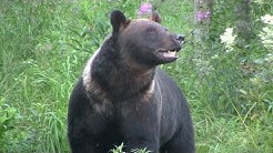 Karhuja ja ahma syömässä (Kuhmo, Finland 08/15)   Bears and wolverine