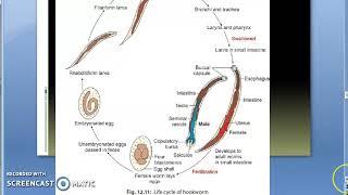 ankilostomiasis etiológiája)