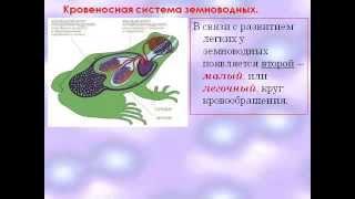 Строение и деятельность внутр. органов земноводных.AVI