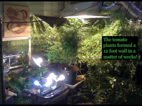 Aquaponic Cannabis