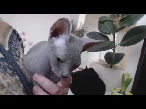 Sphynx Cat Purr Therapy