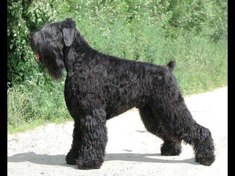 Русский чёрный терьер Собака Сталина, все породы собак, 101 dogs  Введение в собаковедение