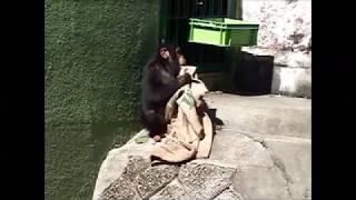 子チンパンジーが麻袋で遊んでた.