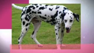 How To Train Dalmatian