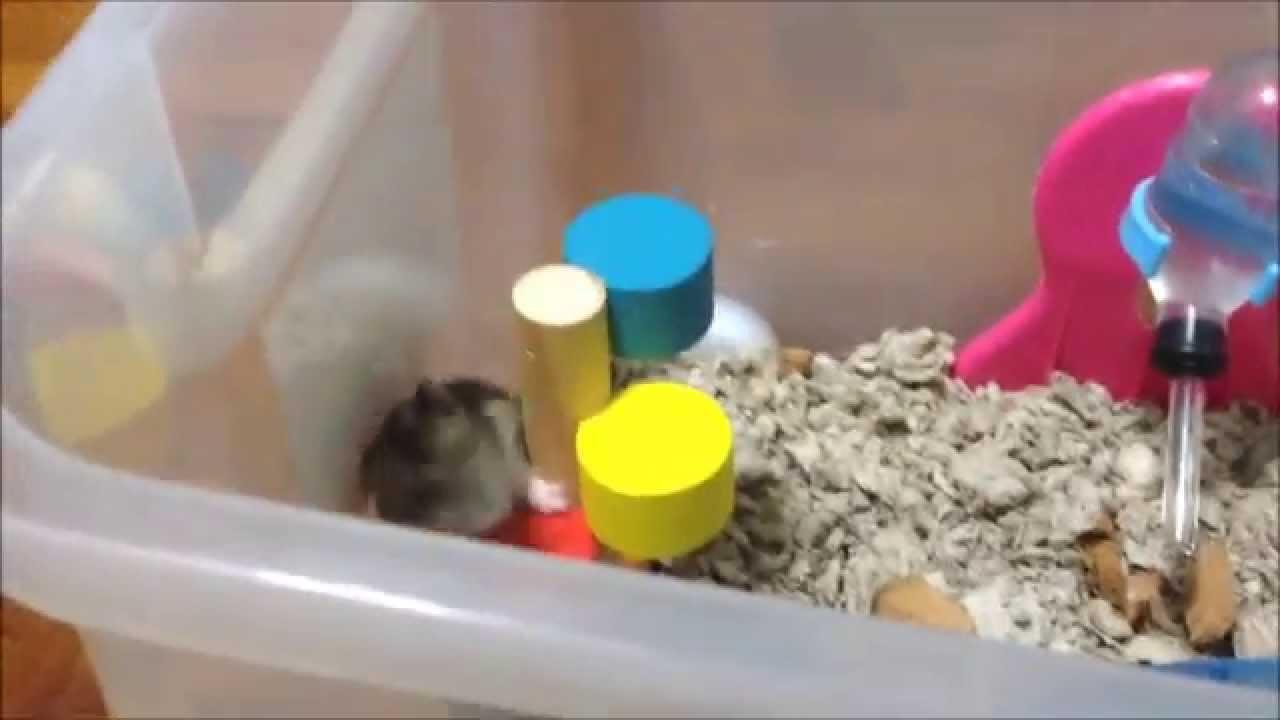 Are Hamsters Herbivores or Omnivores? - Dwarf Hamster Blog