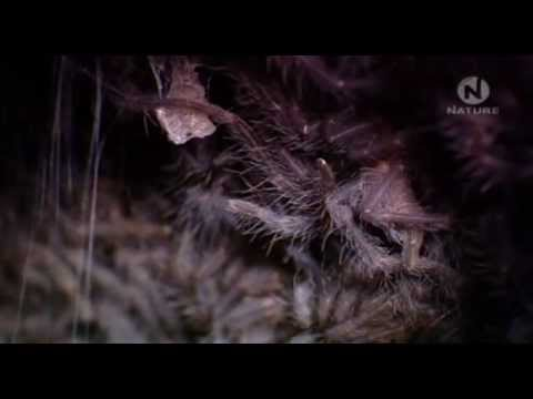 youtube filmek - Tarantula - Az Ausztrál pókok királya