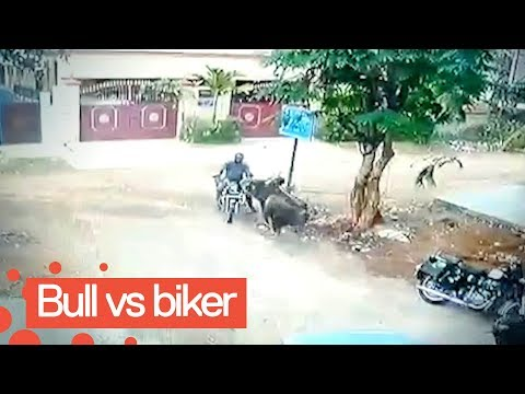 Van and Bonnie in the Morning - Motorcyclist survives head-on collision with charging bull!!!