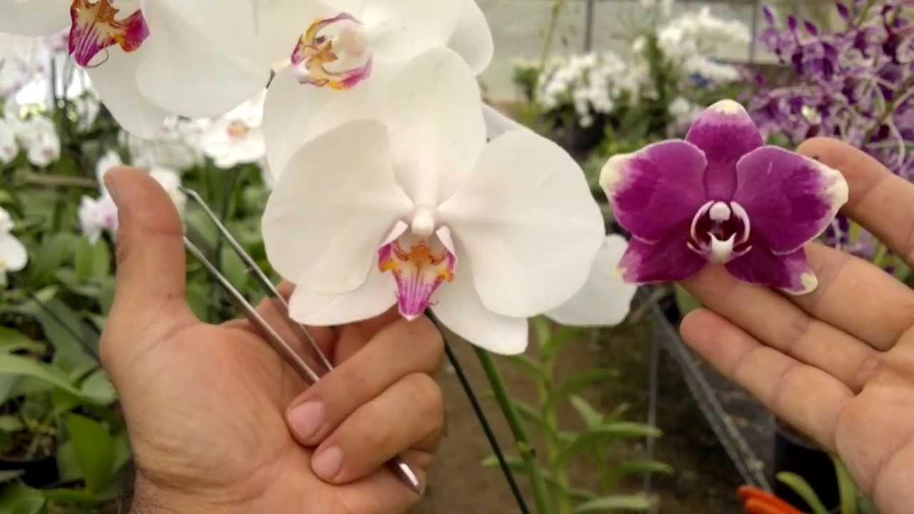 Image result for cruzar orquidea