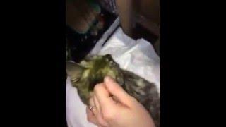 Как чистить коту ушки и лечить отодектоз ушной клещ