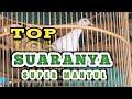 Mantull Bos Suara Burung Perkutut Manggung Gacor  Mp3 - Mp4 Download