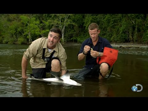 Can Bull Sharks Sense Crocodiles?