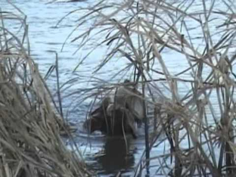 Brittany Spaniel Hunting Ducks and Grouse