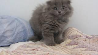 шотландские котята. Котик Юппи. ПРОДАЖА!