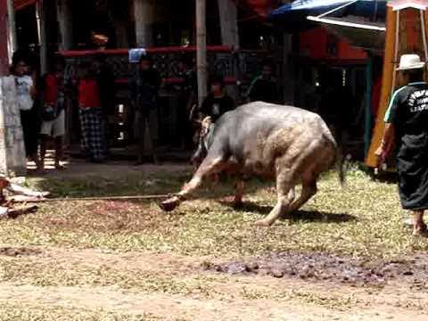 Funeral, Tana Toraja in Sulawesi from my blog,