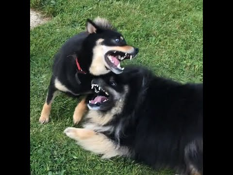 Shiba plays with finnish lapphund