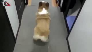 ♥ Видео приколы с животными собаки! Смешно танцует!!!