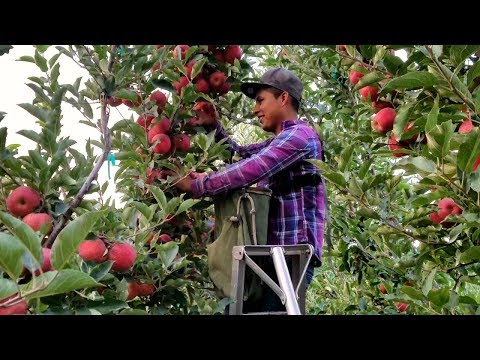 WOOOW  Incredible Agriculture,variedades De Manzanas, Many Varieties Of Apples