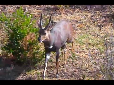 Grazing Bushbuck at Africa Animals cam. 16 January 2018