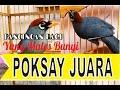 Kicauan Poksay Gacor Mandarin Sang Juara Dunia  Mp3 - Mp4 Download