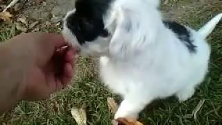 Пуховый щенок китайской хохлатой