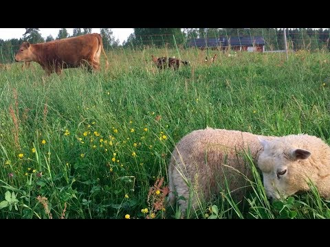 Holistic Planned Grazing and Broiler weight differences