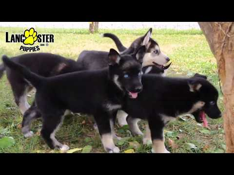 German Shepherd/Husky Puppies
