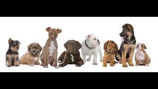 Top 10 giống chó cảnh đẹp đáng nuôi nhất