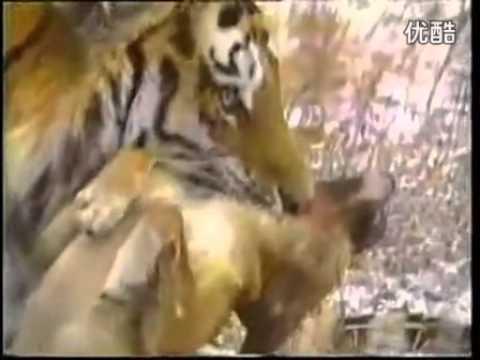 Dogs Killing Big Cats