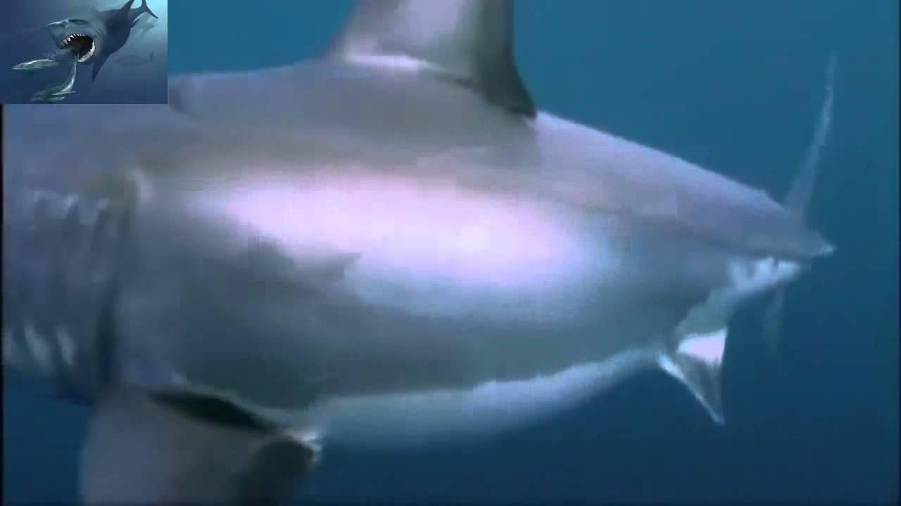 Great white shark vs polar bear