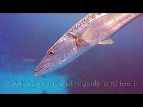Barracuda Attack Caught on Video