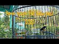Konin Gacor Full Isian Pleci  Mp3 - Mp4 Download