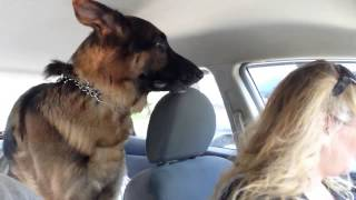 German Shepherd suddenly realizes he is at the vet