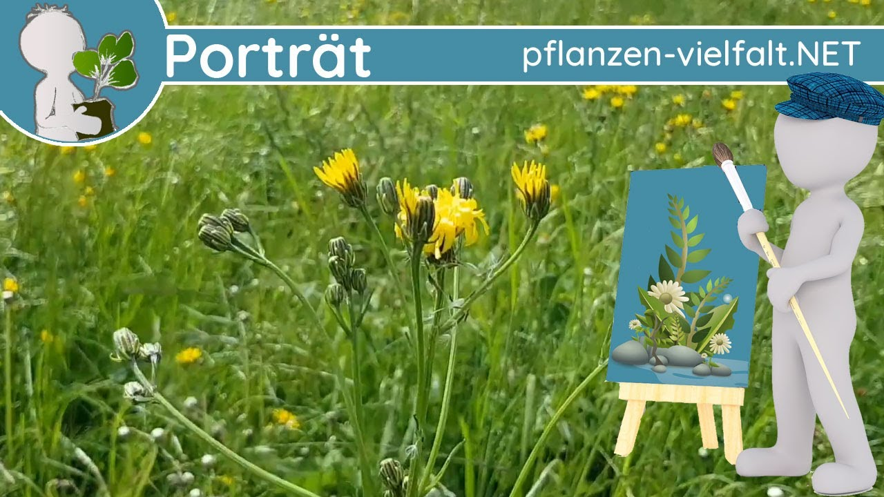 🖼️ Porträt 059 - Wiesen-Pippau (Crepis biennis) - Wildpflanzen-Steckbrief (Essbar)