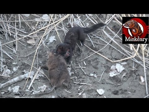 Fang the Mink VS Muskrat in Dry Canal