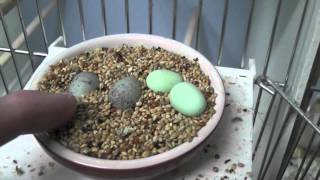 The first canary eggs have hatch.