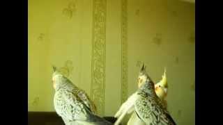 Как приручить попугая Нимфа - Корелла. 1(Подробный рассказ о приручении на 40 мин. Все мои видео - http://www.youtube.com/user/kooo75/videos Чем МОЖНО КОРМИТЬ а чем НЕЛЬЗ..., 2014-08-24T09:10:27.000Z)