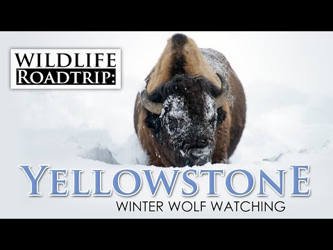 Winter Wildlife in Yellowstone