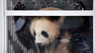 Две большие панды - новые звёзды Берлинского зоопарка (новости)