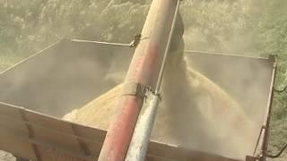 Кубань собрала рекордный урожай риса за всю свою историю. Новости Эфкате Сочи