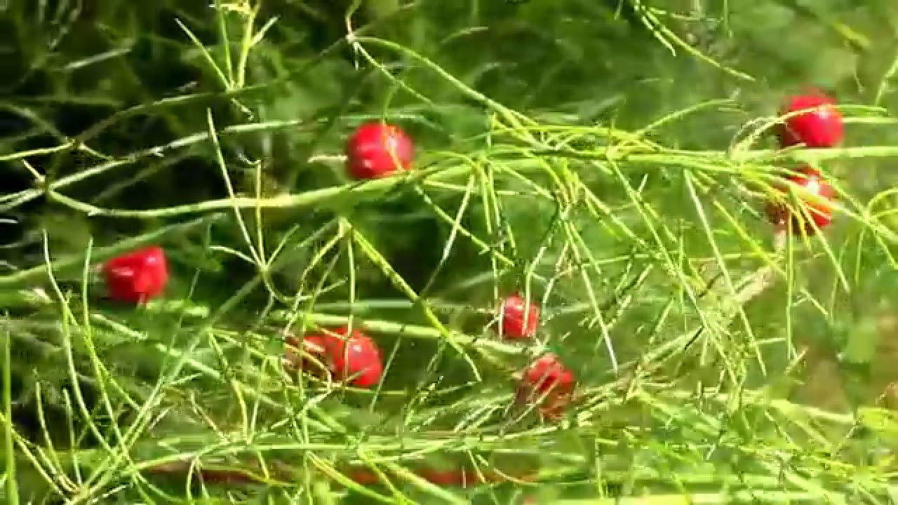 Planting Asparagus Seeds In The Fall. Little Red Berries ... Planting Asparagus In The Fall
