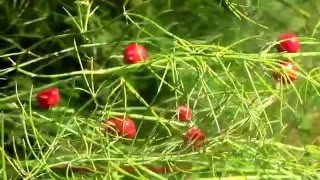 Planting Asparagus Seeds In The Fall. Little Red Berries.