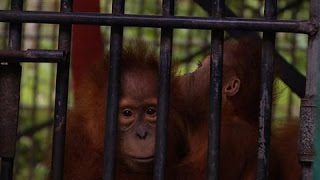 Once-Blind Orangutan Returns to Indonesia's Forests