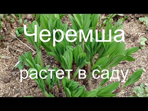 Черемша — выращивание и полезные свойства. Фото -