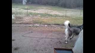 Roxy My 2 Year Old Female Siberian Husky Malamute Mix
