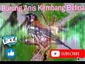 Masteran Burung Anis Kembang Betina Terapy Pejantan Nyecret(.mp3 .mp4) Mp3 - Mp4 Download