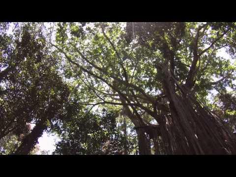 Curtain Fig Tree, Atherton Tablelands, Australia