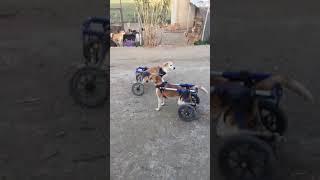 Wheelchair Dog's Morning Walk