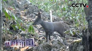 [中国新闻] 广西弄岗保护区:首次拍到国家一级保护动物林麝 | CCTV中文国际