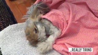 天使の羽を持つウサギ、アンゴラウサギのウォーリーくんのモフ毛に密着なのだ